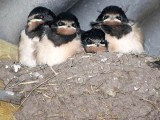 Image showing swallows in their nest