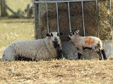Image showing a badger ewe & lamb