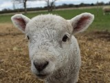 Image showing a lamb looking at the camera