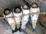Image showing swallows on a wire