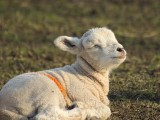 Image showing a lamb enjoying the heat of thesun