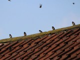 Image showing swallows flying