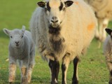 Image showing badger ewe and lamb