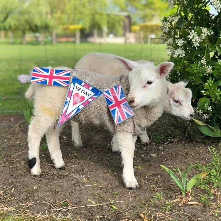VE Day 2020 showing lamb with Union Jacks